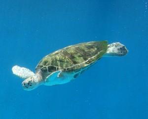 Een zeeschildpad rond Curacao